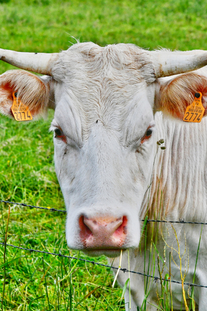 ry: Ry, France - june 23 2016 : cow in a meadow Stock Photo