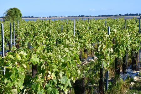 terroir: La Flotte, France - september 25 2016 : vineyard in autumn Editorial