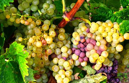 're: Loix, France - september 26 2016 : vineyard in autumn Editorial