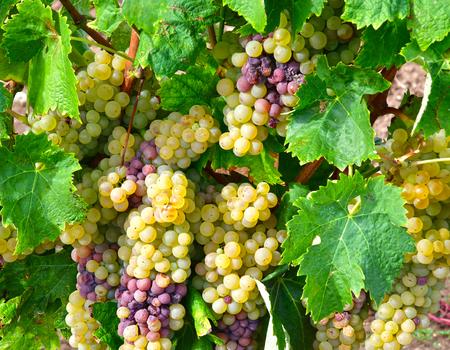 terroir: Loix, France - september 26 2016 : vineyard in autumn Editorial