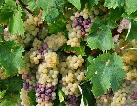 terroir: Loix, France - september 26 2016 : vineyard in autumn Stock Photo