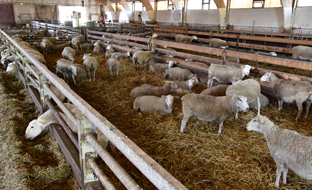 Thiverval Grignon, France - august 13 2016 : sheeps and lambs in the Agroparistech farm Editorial