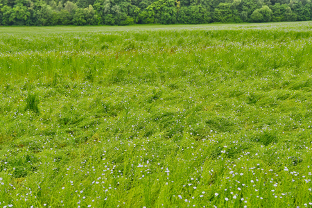 La Neuville Chant d Oisel, France - june 22 2016 : flax field destroyed by rain and wind Stock Photo