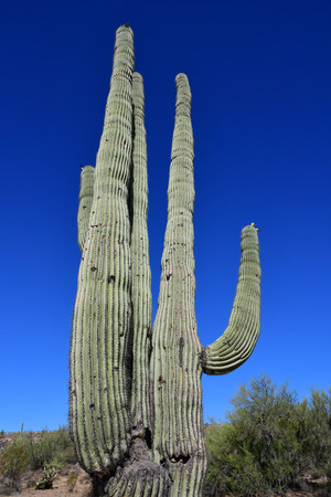 gigantea: Prescott, USA - july 7 2016 : Saguaro cactus in the countryside