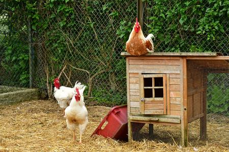 Sagy; France - june 3 2018 : poultry in the Ferme de la Couture Editoriali
