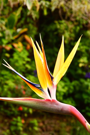 Funchal, Portugal - february 22 2018 : bird of paradise in the botanical garden