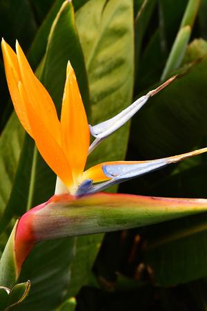 Santana, Madeira, Portugal - february 23 2018 : bird of paradise Redactioneel