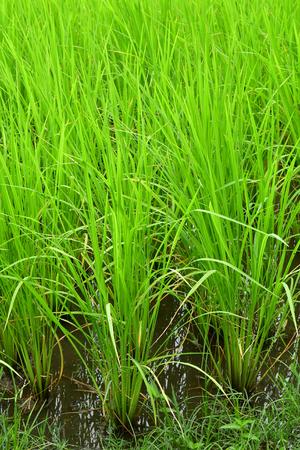 Kampong Chhnang; Kingdom of Cambodia - august 21 2018 : rice field