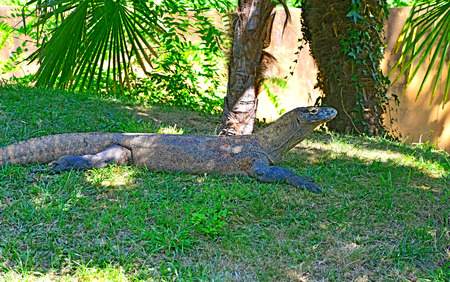 Thoiry; France - august 16 2016 : komodo dragon in the African reserve