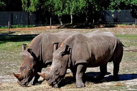 Thoiry; France - august 16 2016 : rhinoceros in the African reserve