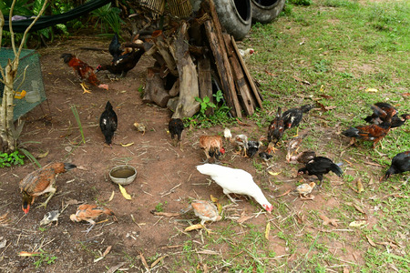 Kampong Chhnang; Kingdom of Cambodia - august 21 2018 : poultry in a farm in the village