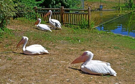 Thoiry; France - august 16 2016 : white pelican in the African reserve