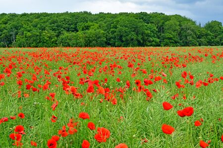 Radepont, France - june 6 2019 : field of poppies