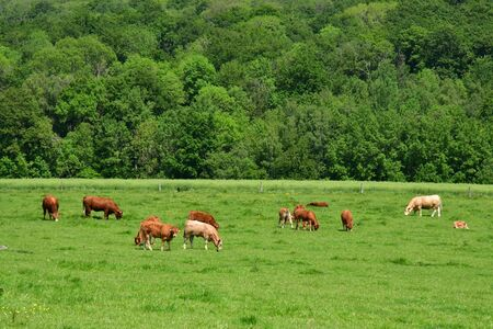 Lainville en Vexin, France - may 24 2019 : cows in a meadow