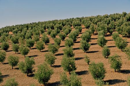 olive trees near Loja Editöryel