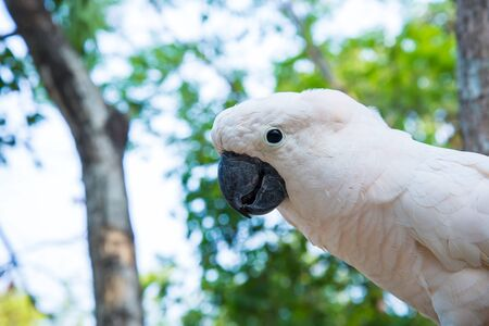 flapping: White parrot perched on a branch in a zoo.