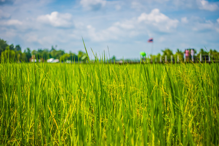 A field where rice is grown in Thailand. Stock Photo