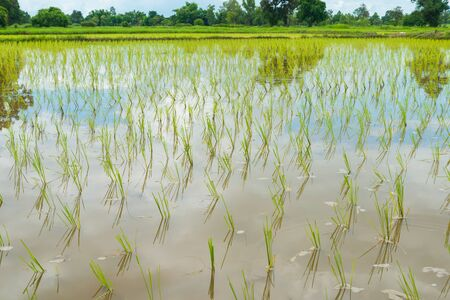 transplant: transplant rice seedlings in THailand. sensitive focus Stock Photo