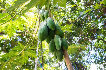 The papaya tree with a lot of fruits.