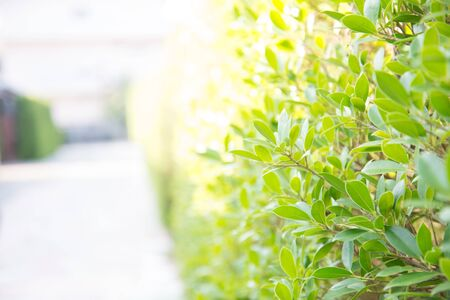 Zoom shot of green trees plant to a fence, sensitive focus. Stock Photo