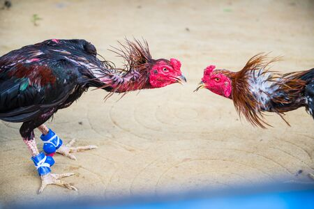 cockfighting: Gamecocks are fighting, cockfighting field.