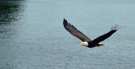 bald eagle flying over the sea in Ketchikan, Alaska. Bald eagle close up detail