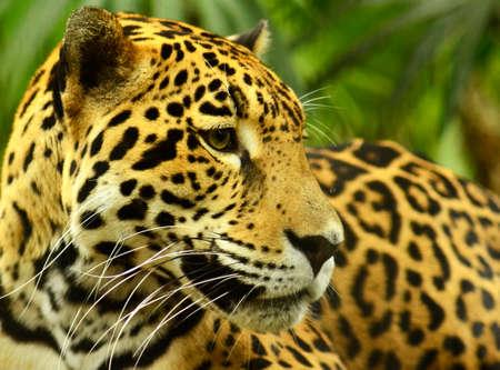 close up of a Jaguar in Yucatan Mexico Archivio Fotografico