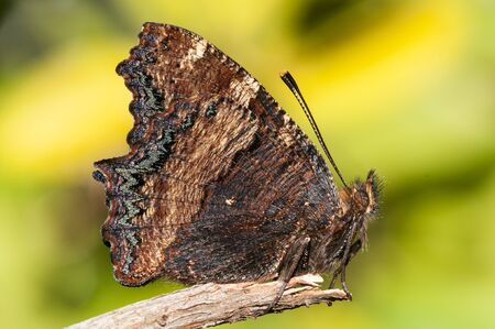Nymphalis polychloros The large tortoiseshell beautiful butterfly which lays the eggs in fruit trees can become a plague for them on a dense background and natural lighting Banco de Imagens