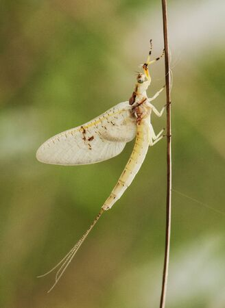 Ephemeral common mayfly species find these precious and delicate insects near bodies of water perched on dry stem with unfocused greenish background natural lighting Banco de Imagens