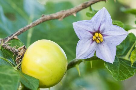 Solanum linnaeanum tomato of the devil exotic plant installed on the coasts of Andalucia on a green leafy background and artificial lighting