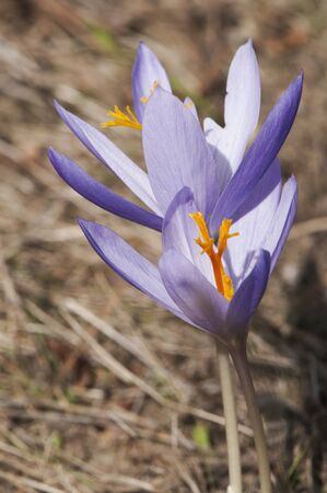 Crocus clusii beautiful wild saffron of deep dark purple color on background of pine litter and natural light