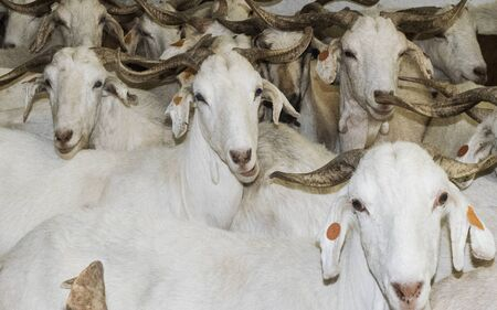 Flock of white goats in milking farm in southern Spain