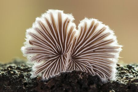 Schizophyllum commune gray-white mushroom and fan-like appearance, very beautiful when you see it from its bottom on a brown green background out of focus and artificial lighting