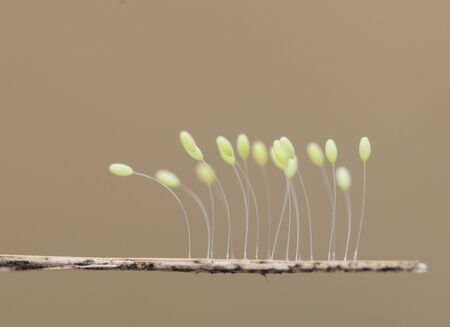 Crisopa eggs Green lacewings eggs these insects lay their eggs in places near streams on the vegetation on a light brown background 版權商用圖片 - 128717670