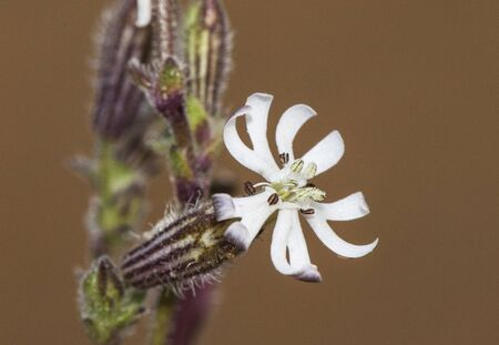 Silene niceensis campion delicate white flower growing on coast sand on light brown background out of focus and natural lighting
