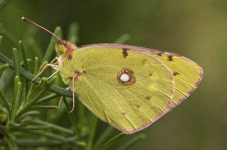 Colias croce butterfly of intense yellow crocused perched on green leaves with greenish background and natural light