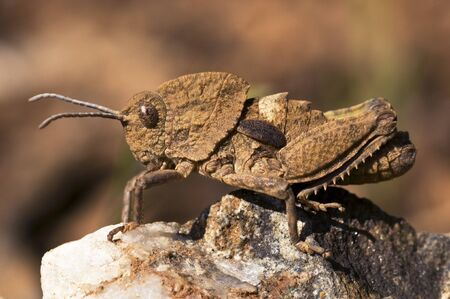 Ocnerodes fallaciosus grasshopper without wings can not fly that mimics a rock in its camouflage on a brown background and natural lighting