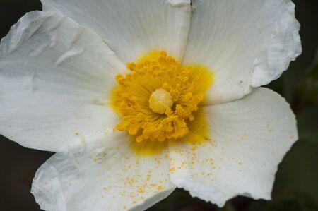 Cistus salvifolius sage-leaved rock-rose delicate white flower with stamens of intense yellow color natural lighting Zdjęcie Seryjne