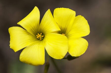 Oxalis pes caprae African wood sorrel lovely and edible intense yellow flower on green brown background and natural lighting 版權商用圖片