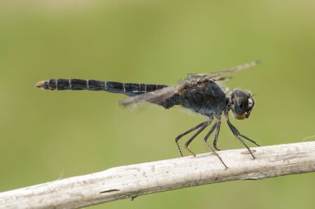 Brachythemis imparts northern banded groundling species of dragonfly that lives in marshes and areas of water flooded perched on a stick on green background defocused natural lighting