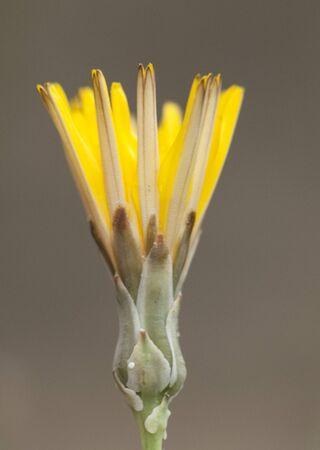 Launaea fragilis beautiful yellow flower of the family compositae on floors plaster on light brown background natural lighting Zdjęcie Seryjne