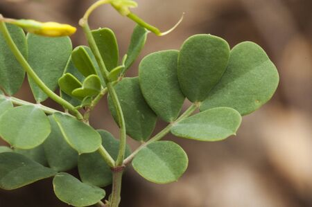Coronilla glauca, leguminous of bushy bearing with beautiful armored green leaves and flowers of intense yellow color green background natural lighting Zdjęcie Seryjne