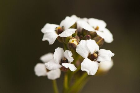 Crambe hispanica Abyssinian kale delicate family plant Cruciferae with small white flowers greenish brown background natural lighting