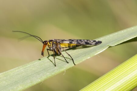 Panorpa meridionalis scorpionfly strange insect of intimidating appearance but totally harmless males have at the end of the abdomen a structure similar to a stinger green background natural light