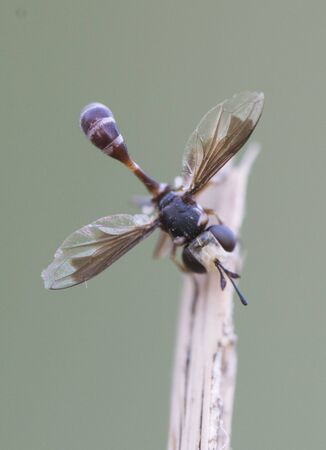 Physocephala Thick-headed Fly lovely small-sized fly of the Conopidae family sleeping in the morning perched on a dry reed greenish gray background lit with flashes