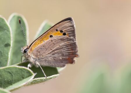 Lycaena phlaeas Small Copper small butterfly of the family Lycaenidae very common in the fields of Andalusia perched on leaves of leguminous brown background greenish natural light 写真素材