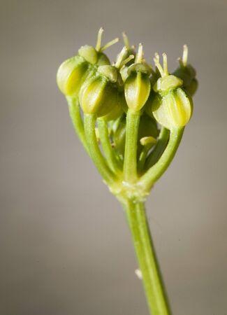 Smyrnium olusatrum fruits of this plant wild and edible umbelifera gray-green background natural lighting