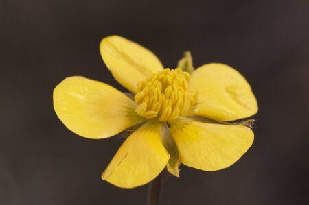Ranunculus species, beautiful deep yellow flower dark green background natural light