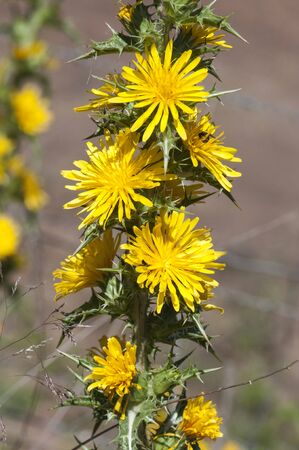 Scolymus hispanicus the common golden or Spanish oyster thistle edible plant with yellow flowers called tagarnina in Spain gray-green brown background out of focus natural light
