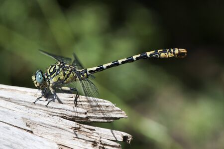 Onychogomphus forcipatus the small pincertail or green-eyed hook-tailed dragonfly insect of large size and striking yellow black and blue eyes perched by the riverbank intense daylight